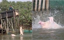 Trung Quốc: Người nông dân bắt lợn nhảy cầu mỗi ngày để nâng cao sức khỏe