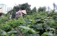 Vườn rau sạch tươi tốt ăn không hết dọc bờ kè sông Tô Lịch khiến ai cũng... phát thèm