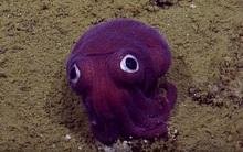 Loài mực béo lùn, mắt to tròn như hoạt hình đáng yêu tới nỗi chẳng ai muốn ăn giải đen