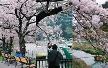 Nhất định phải đến Nhật Bản một lần, vào mùa hoa anh đào...