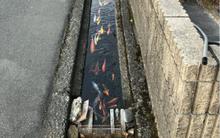 Không thể tin được, đàn cá chép lại có thể sinh sống trong một rãnh nước thải tại Nhật Bản!