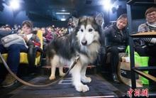 Suất chiếu phim đặc biệt dành cho chó và nguyên nhân khiến nhiều người xúc động nghẹn ngào