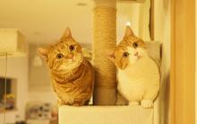 Cả thế giới ra mà xem cặp mèo chân ngắn một mẩu đốn tim cư dân mạng