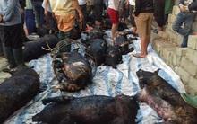 Yên Bái: Hơn 70 con lợn bị thiêu chết chỉ vì ... tàn tro đốt rác