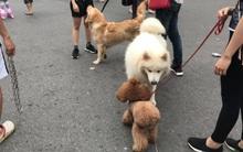 Chó không rọ mõm lại ngang nhiên vào phố đi bộ quanh hồ Gươm