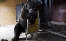 Chùm ảnh: Phía sau ánh đèn sân khấu là nỗi buồn của 2 chú gấu xiếc bị bỏ rơi