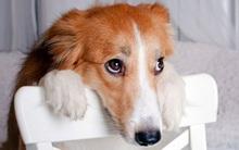 Đây là lý do chó nhà bạn chưng ra bộ mặt này sau mỗi lần phá phách