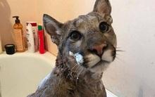 Kiến thức sinh học kém trầm trọng, chàng trai cưu mang báo sư tử đi lạc vì tưởng là mèo
