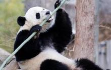 """Sau 3 năm """"đi du lịch"""" Mỹ, gấu trúc quyết không giao lưu bằng tiếng Trung, nói không với bánh quy Trung Quốc"""