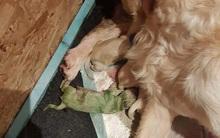 Trên thế giới mới chỉ phát hiện thấy 3 chú chó có màu lông xanh chóe lọe như thế này