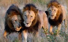 7 người đàn ông bắt cóc và đánh đập bé gái 12 tuổi, không hề biết rằng 3 con sư tử đang theo dõi phía sau