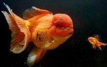 Tìm thấy siêu cá vàng khổng lồ có cân nặng lên tới 1,2kg