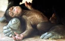 Tinh tinh đực cướp con non vừa sinh: Sự thật đằng sau khiến nhà khoa học rất bất ngờ