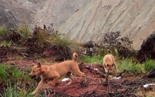 Người ta vừa mới bắt gặp loài chó cổ nhất, hiếm nhất hành tinh ngoài tự nhiên