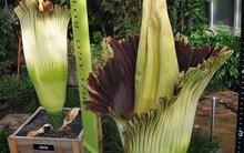 Bông hoa khổng lồ tỏa mùi thối nồng nặc nhưng vẫn thu hút đông người tới xem