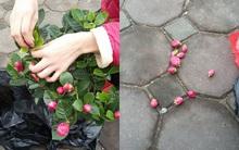 Hà Nội: Cây hoa hải đường đẹp như mộng nhưng tất cả chỉ là dàn dựng