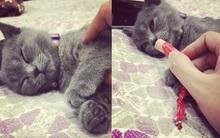 """Chú mèo Anh lông ngắn chỉ thức khi có thức ăn được dân tình """"thả tim"""" nhiệt liệt vì độ lười"""