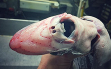 """Sinh vật trong bức hình """"Quái vật alien"""" dưới đáy biển thực chất không hề là giả tưởng"""