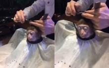 """Clip: Cười lăn lộn với chú khỉ được chăm sóc tận """"chân tơ kẽ tóc"""""""