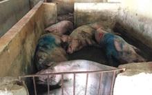 Hà Tĩnh: Người dân tố cán bộ thú y chứng nhận lợn lở mồm long móng để đưa ra chợ bán