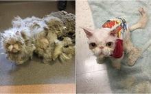 Không ai nghĩ chú mèo xấu xí với bộ lông bẩn thỉu nặng 4,5kg này sẽ lột xác ngoạn mục đến vậy