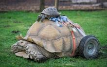 Bị liệt vì giao phối quá độ, chú rùa được lắp thêm bánh xe di chuyển cho dễ dàng