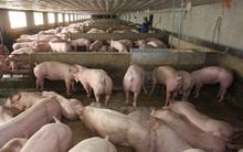 """""""Khóc ròng"""" vì 1kg thịt lợn hơi không mua nổi bát phở"""