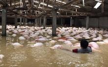 Xót xa hình ảnh hàng ngàn con lợn chăn nuôi chết trong nước lũ ở Thanh Hoá