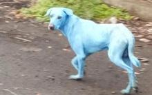 Ấn Độ: Kinh ngạc với sự xuất hiện của chú chó màu xanh lam
