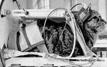 Bị quên lãng sau 54 năm lập công, giờ đây cô mèo đầu tiên bay vào không gian đang được đòi lại công bằng