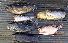 """Thấy đàn cá chép Koi bị ăn thịt, người đàn ông kinh ngạc khi phát hiện """"kẻ tấn công"""" trên camera an ninh"""