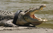 Cá sấu 800 kg cắn đứt chân người đàn ông ở Malaysia