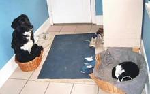 Khuôn mặt đáng thương của 14 chú chó bị những con mèo đanh đá bắt nạt