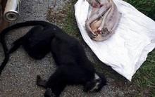 Hai con voọc quý hiếm bị sát hại, lấy nội tạng ở Quảng Bình