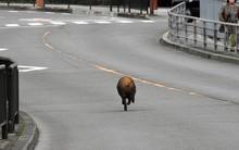 Đang trên đường về nhà sau giờ tan học, nữ sinh Nhật Bản bị lợn rừng từ đâu chạy tới tấn công