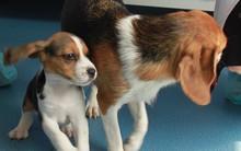Trung Quốc đang nhân bản chó biến đổi gen để làm gì?