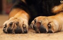 Bạn có tin: Chân chó nhà bạn có mùi... bỏng ngô?
