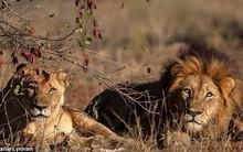 """Đi săn sư tử lấy bờm, gã thợ săn không ngờ phải nhận kết cục bi thảm, trở thành """"con mồi"""" của chính đàn thú dữ"""