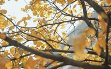 Bách Khoa, Sư Phạm mùa cây thay lá, đẹp dịu dàng như thu ở trời Âu