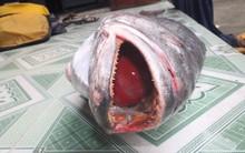 Xôn xao ngư dân Quảng Nam bắt được cá sủ vàng nặng hơn 10 kg, trị giá tiền tỷ