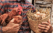 Trứng có trước hay gà có trước? Đáp án cho câu hỏi kinh điển này hóa ra không giống như bạn nghĩ