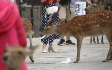 Những chú nai Nara nổi tiếng ở Nhật Bản chết trong đau đớn với 4,3kg rác thải nhựa trong bụng