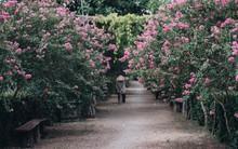 Chùm ảnh: Con đường ở Hà Nội được tạo nên bởi 100 gốc hoa tường vi đẹp như khu vườn cổ tích