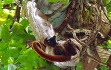 Cận cảnh trăn Nam Mỹ nuốt trọn con khỉ 6kg