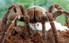 """Những loài nhện khổng lồ """"chỉ nhìn thôi cũng ngất"""""""