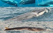 Thước phim đầu tiên về loài cá voi hiếm gặp nhất hành tinh