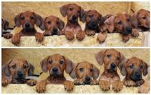 Cún mẹ đẻ tới... 17 cún con siêu kute