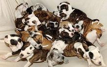 Những đàn cún con đông đúc và kute nhất quả đất