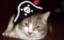 Mũ cướp biển cho miu cưng đi dự Pet Icon 2011