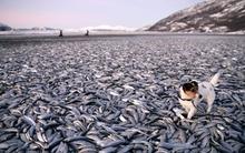 Lại đến lượt hàng chục tấn cá chết bí ẩn ở Na Uy